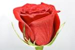 roża czerwona2